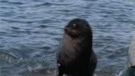 CU, Seals on rocky seashore, Antarctica