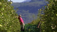 Seasonal agricultural workers picking organic apples in Tramin an der Weinstrasse South Tyrol is Europe's largest connected fruitgrowing region