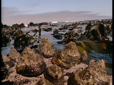 Seaweed floats around limpets that cling to a rock.