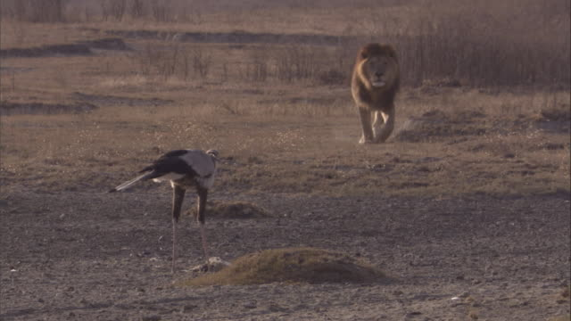 Secretary bird feeds on hare is scared off by approaching lion. Available in HD.