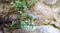 Sedum morganianm blossoms on rock wall