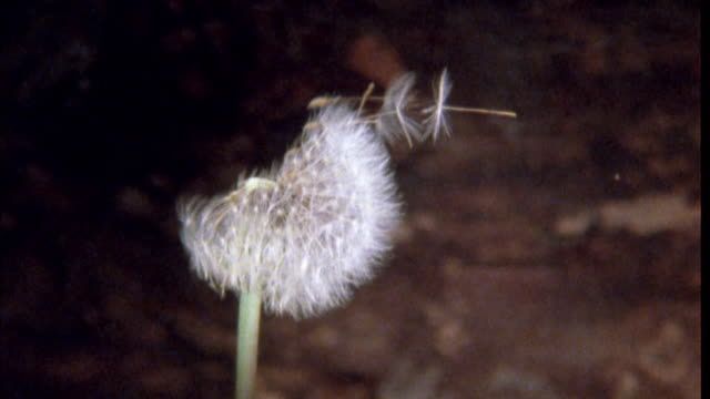 Seeds float in breeze from dandelion clock Available in HD.