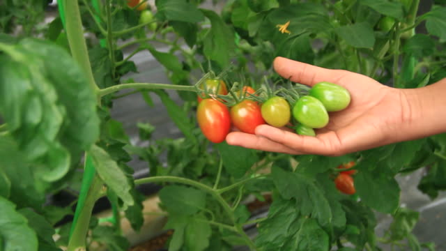 selection of tomatoes