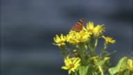 Senecio pseudo-arnica and butterfly in Hokkaido