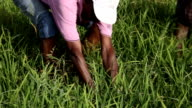 Senegal, Podor, Guia village, rice field,