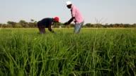 Senegal, Podor, Guia village, rice field