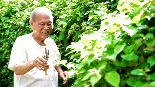 Senior Asian Man Pruning Leaf of Tree