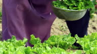 MS TS Senior couple harvesting lettuce / Seoul, South Korea