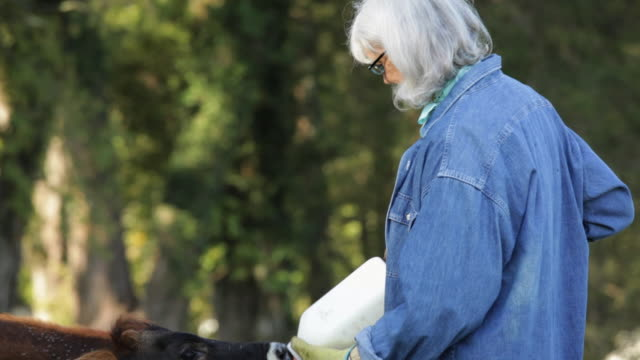 MS Senior Farmer Feeding Cows with Bottled Milk in Pasture / Richmond. Virginia, USA