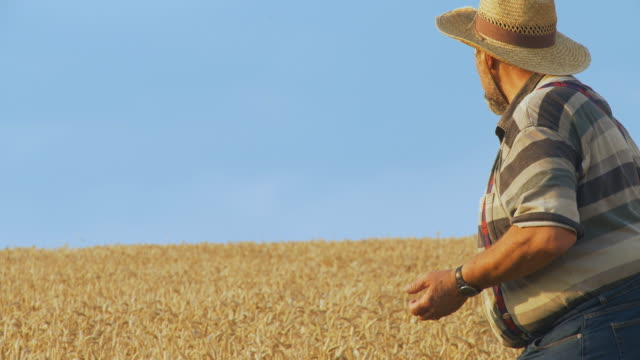 HD: Senior farmer looking and tasting crop in wheat field