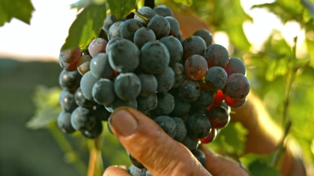 SLO MO Senior male's hand cutting grape cluster