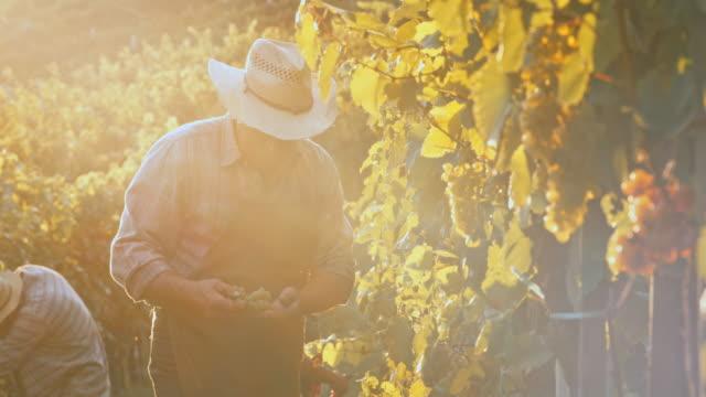 Senior man harvesting grapes by hand at sunset