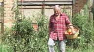 Senior man picking tomatoes in his allotment