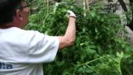 Senior man taking care of his urban garden.