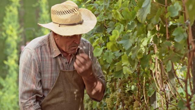 Senior man tasting the grapes in vineyard
