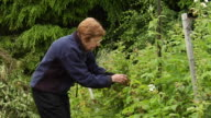 MS Senior woman picking and eating berries in garden/ Vancouver, BC