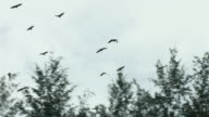 Sequence showing a colony of 'flying foxes' or giant fruit bats on New Guinea, Indonesia.