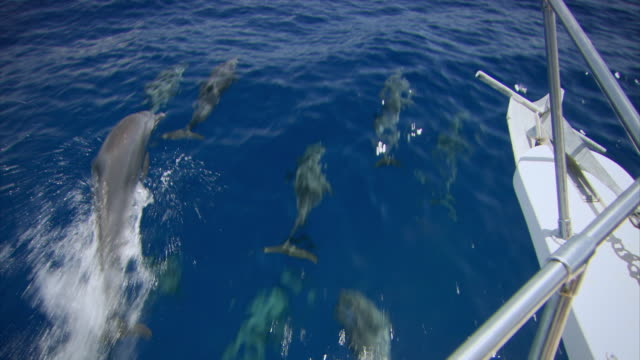 Sequence showing a pod of pantropical spotted dolphins (Stenella attenuata) swimming beside a boat in a stretch of deep water off the coast of Haiti.