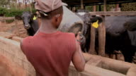 Sequence showing cattle on a farm in Kenya being fed by farmers.