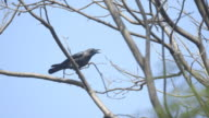 Sequence showing Indian house crows (Corvus splendens) in branches of trees in South Park Street Cemetery, Kolkata, India.