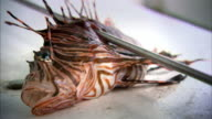 Sequence showing the invasive species lionfish (Pterois) being caught from a boat in the Caribbean Sea.