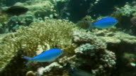Sequence showing the variety of fish living on a coral reef on the Red Sea coast, Egypt.