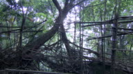 Sequence showing Umkar Living Root Bridge, constructed from the live aerial roots of rubber trees, Siej, Meghalaya, India.