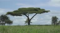 Serengeti Acacia Tree, Distant