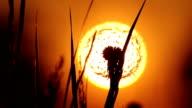 Setting Sun Blowball