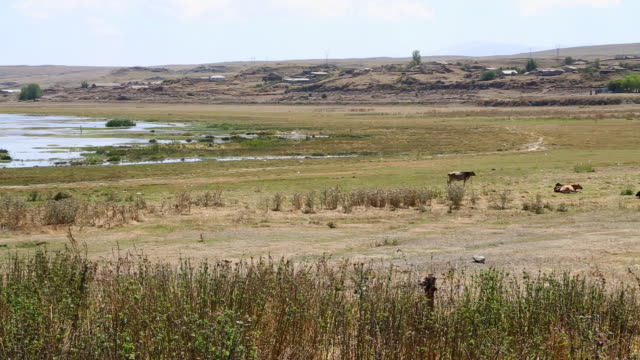 Sevan lake, cows in th elake