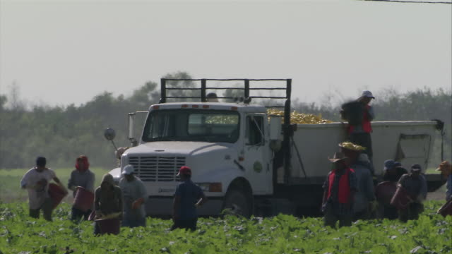 MS Several agricultural workers gathering harvest and unloading into truck / Florida, USA