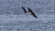 Several bald eagles try to steal a fish from another bald eagle's claws. Available in HD.