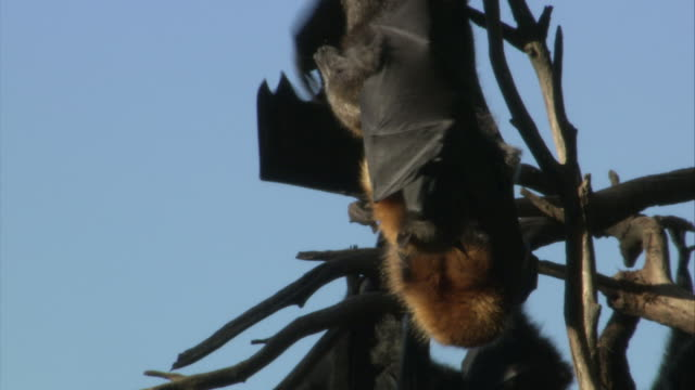 CU Several flying foxes hanging upside down on tree / Sydney , Australia