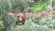 Several large blue spruce trees blew down from the storm that hit east Denver early Wednesday evening / Crews were busy cutting up and removing one...