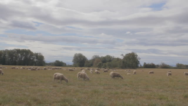 Several sheep in field grazing and laying