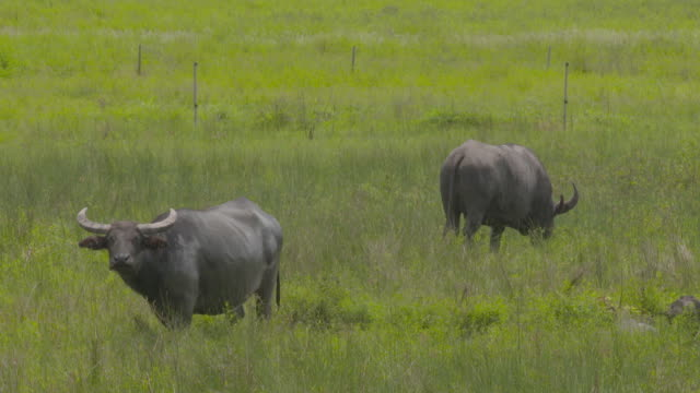 several water buffalo graze in grass paddock some look at camera