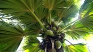 Seychelles  Coco de mer