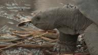 CU PAN Seychelles giant tortoise (Dipsochelys hololissa) walking on ground by water, Seychelles