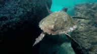 Seychelles- Hawksbill sea turtle (Eretmochelys imbricata) 3