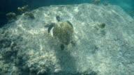 Seychelles- Hawksbill sea turtle (Eretmochelys imbricata) 6