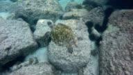 Seychelles- Hawksbill sea turtle (Eretmochelys imbricata) 7