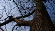 T/L shadows on Sweet Chestnut (Castanea sativa) tree against sky, UK woodland
