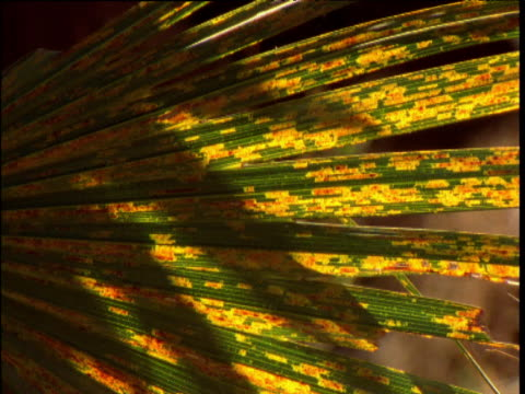 Shadows shift over frond of cabbage palm, Palm Valley, Northern Territory, Australia