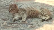 Shady Cat, Ephesus, Turkey