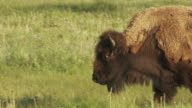 A shaggy bison walks across a field.