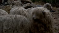 Shaggy sheep cluster at a feed bin to eat hay. Available in HD.