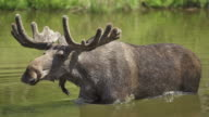 SLOW MOTION: Shaking Moose