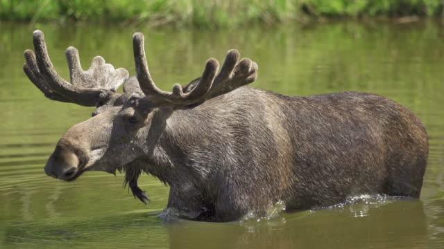 SLOW MOTION: Shaking Moose
