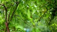 Shaking tree branch in rain