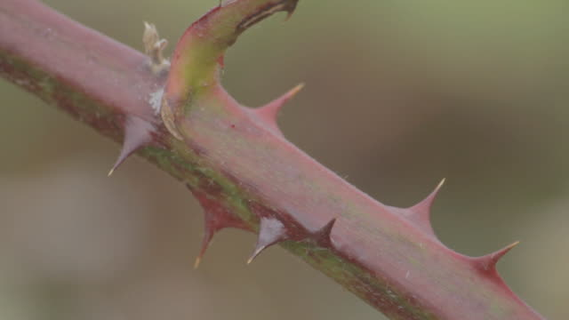 Shallow depth of field shot of the thorns on a plant.